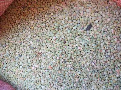 甘肃省白银市景泰县小扁豆 1cm以上 10cm以下