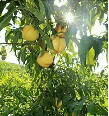 陕西省西安市户县黄油桃 4两以上 50mm以上