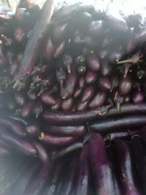 山东省临沂市沂南县紫长茄 4两以上