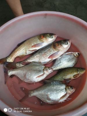 广东省惠州市博罗县池塘鳊鱼 人工养殖 1-1.5公斤