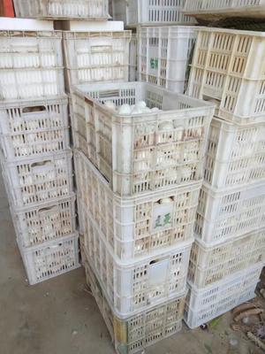 河南省濮阳市濮阳县土鹅蛋 孵化 箱装