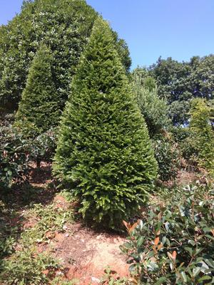 湖南省长沙市雨花区南方红豆杉 2.0~2.5米