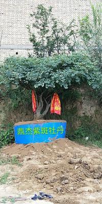 甘肃省定西市临洮县观赏牡丹 20cm以上 10~12cm 4米以上