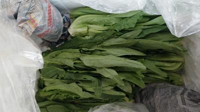 广东省东莞市东莞市纯香油麦菜 35~40cm以上