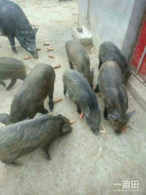 甘肃省天水市武山县特种野猪 20-30斤 统货