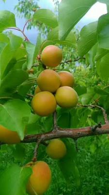 新疆维吾尔自治区伊犁哈萨克自治州霍城县树上干杏 30-40mm