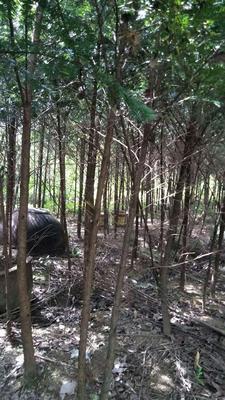 江苏省泰州市泰兴市南方红豆杉 2.5~3米