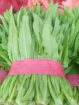 河北省邯郸市丛台区美冠油麦菜 30~35cm以上