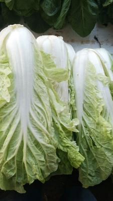 广东省东莞市东莞市玲珑黄白菜 1~2斤 净菜
