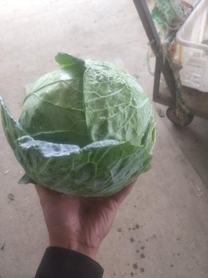 甘肃省定西市临洮县莲花白包菜 2.5~3.0斤