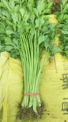 山东省聊城市东阿县山芹 50~55cm 大棚种植 0.5斤以下