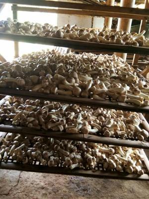 云南省西双版纳傣族自治州景洪市人工松茸 人工种植 5cm-7cm 未开伞 干货