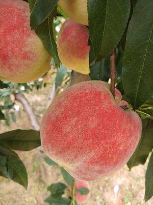 河北省唐山市遵化市秋红桃 70mm以上 4-5两