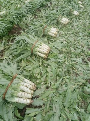山东省泰安市岱岳区青皮尖叶莴苣 16~20cm 2斤以上