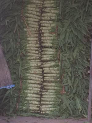 河北省保定市定州市尖叶青莴笋 60-70cm 1.0~1.5斤