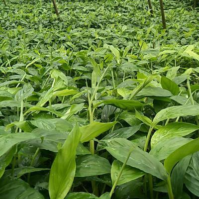 云南省红河哈尼族彝族自治州蒙自市草果苗 散本苗 0.5米以下