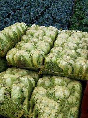 河北省张家口市张北县玲珑黄白菜 3~6斤 二毛菜