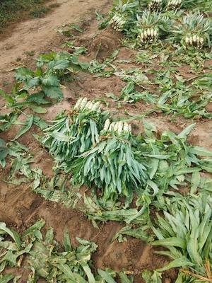 河北省保定市定州市青皮尖叶莴苣 24~28cm 0.5~0.8斤