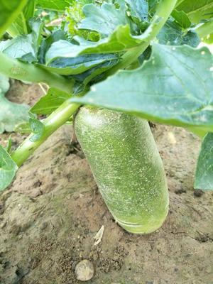宁夏回族自治区中卫市中宁县水果白萝卜 1~1.5斤