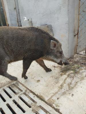 湖南省湘潭市湘乡市生态野猪 140斤以上 统货