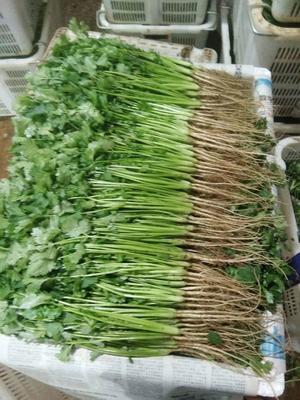 云南省昆明市盘龙区大叶香菜 25~30cm