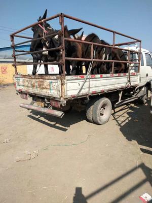 北京通州区肉驴 200-400斤