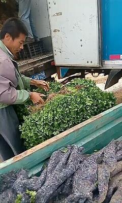 辽宁省锦州市太和区大叶香菜 25~30cm