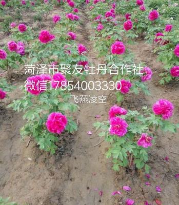 山东省菏泽市牡丹区飞燕凌空 2~4cm 4~6cm 0.5~1米