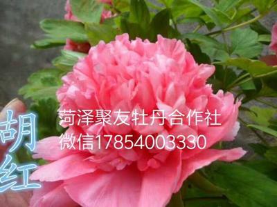 山东省菏泽市牡丹区胡红 2~4cm 6~8cm 0.5~1米