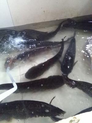 广西壮族自治区崇左市大新县池塘草鱼 人工养殖 0.5-2.5公斤