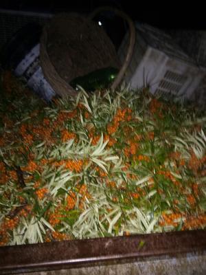 河北省张家口市赤城县沙棘果 橙黄色