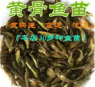广东省珠海市斗门区杂交黄骨鱼 人工殖养 0.05公斤