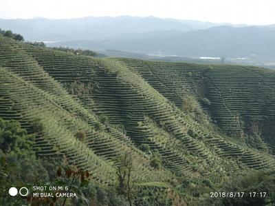 云南省西双版纳傣族自治州景洪市油茶花粉 12-18个月