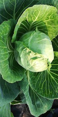 吉林省长春市南关区卷心包菜 1.0~1.5斤
