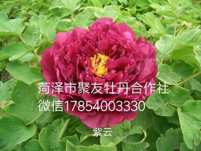 山东省菏泽市牡丹区紫云牡丹 2~4cm 4~6cm 0.5~1米
