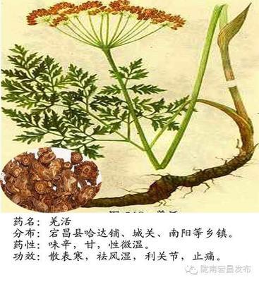 四川省阿坝藏族羌族自治州马尔康县羌活