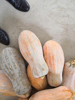 贵州省毕节市黔西县金韩蜜本南瓜 6~10斤 长条形