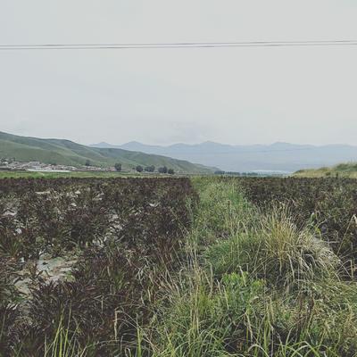 甘肃省武威市天祝藏族自治县紫叶莴笋 40-50cm 0.5~0.8斤