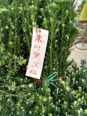 广西壮族自治区桂林市阳朔县小叶罗汉松
