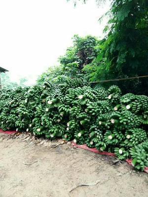 贵州省贵阳市云岩区小米蕉 八成熟 40 - 50斤