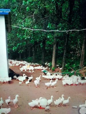 安徽省滁州市凤阳县狮头鹅 统货 全散养 10-12斤