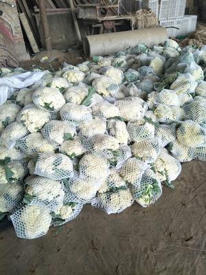 山东省聊城市东昌府区有机花菜 松散 2~3斤 乳白色