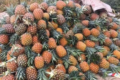 陕西省宝鸡市凤县河口菠萝 1.5 - 2斤