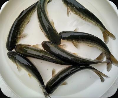 广东省江门市鹤山市池塘草鱼 人工养殖 0.05公斤