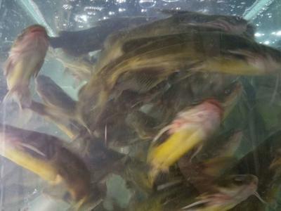 广西壮族自治区南宁市宾阳县淡水鲈鱼 人工养殖 1.5-2.5公斤