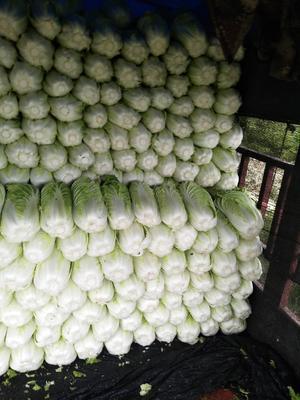 河北省张家口市蔚县黄心大白菜 3~6斤 净菜