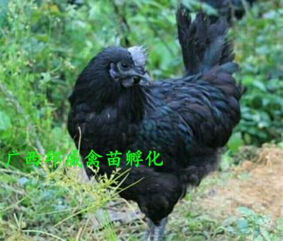 绿壳蛋鸡苗