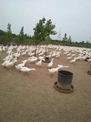 河北省邯郸市广平县大白鹅 统货 半圈养半散养 4-6斤