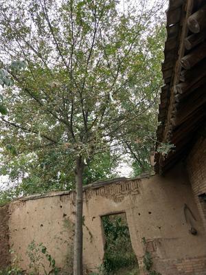 陕西省渭南市富平县皂角树