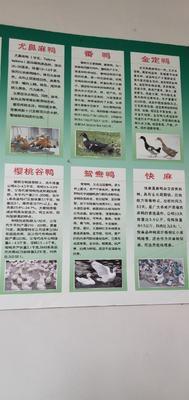 江苏省宿迁市沭阳县大种杂交鸭苗